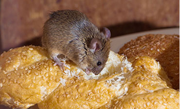 rats eating bread
