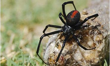 a black spider